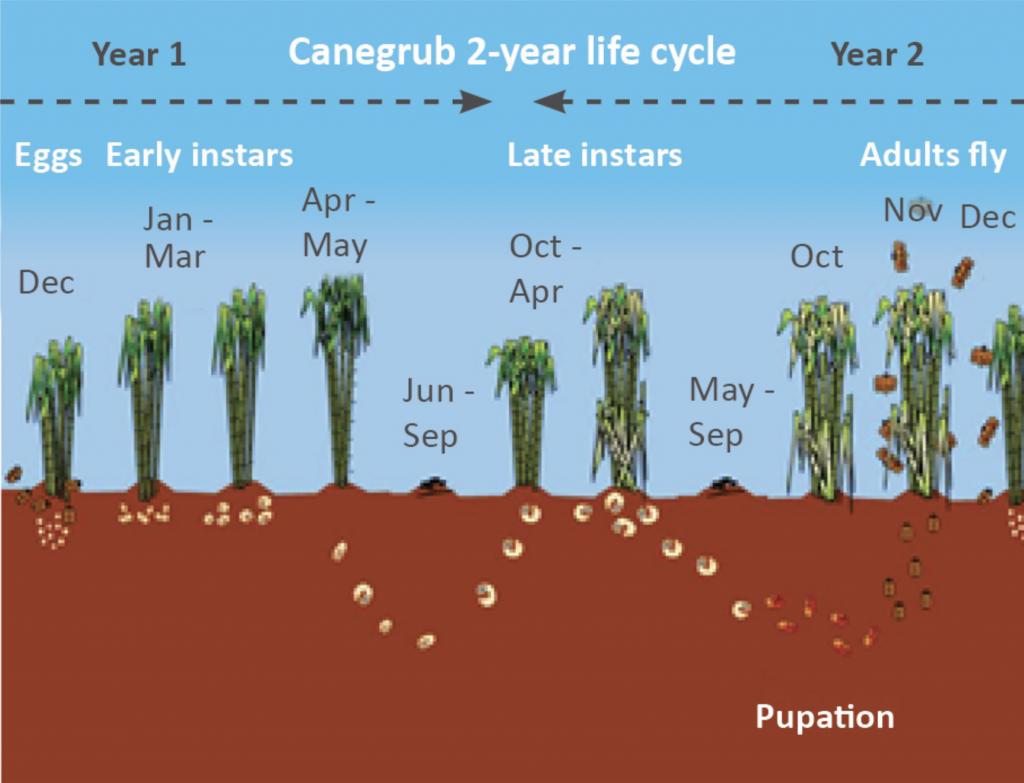 grub life cycle