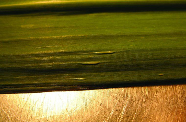 Fiji Leaf Gall