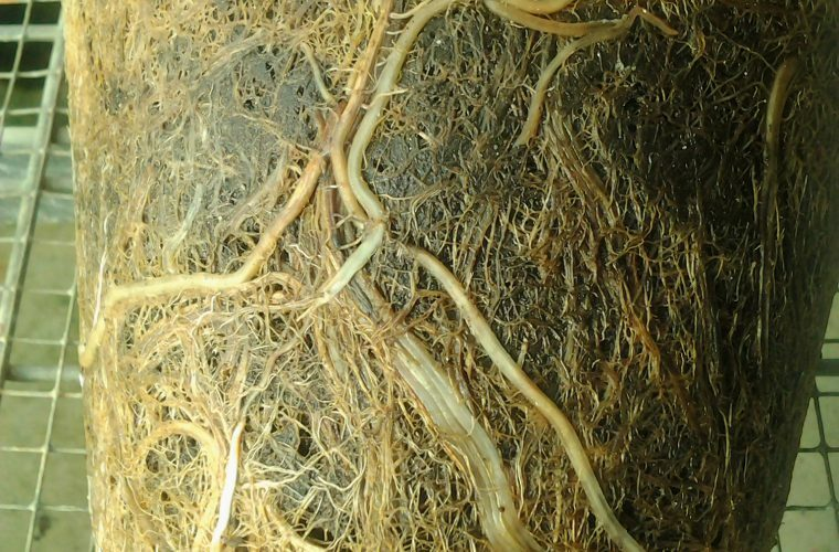 Pachymetra Root Rot